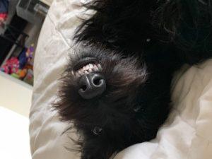 Scottish terrier upside down