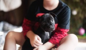Staffordshire Bull Terrier black puppy