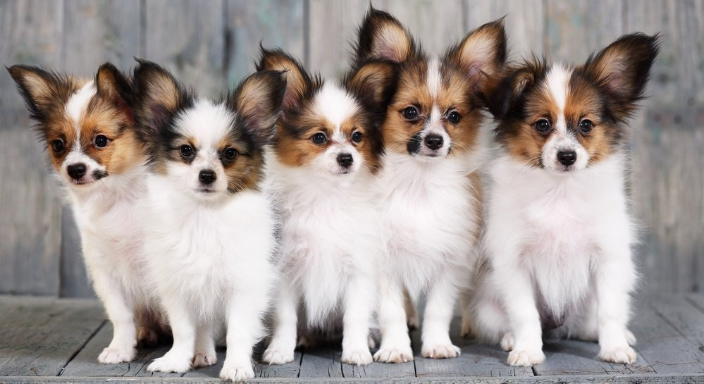 Choosing a Papillon – Finding the Perfect Dog for Your Home and Lifestyle