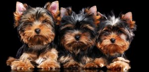 Choosing a yorkie puppy