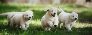 Golden Retriever puppies running in the grass