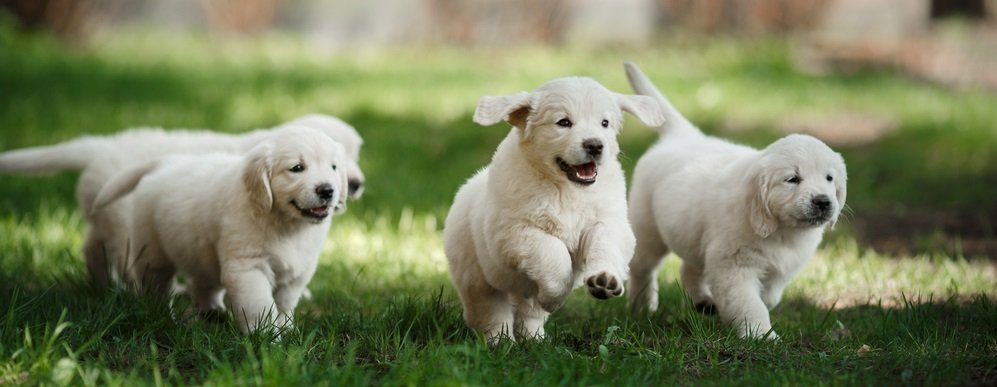 How to Choose the Right Golden Retriever for your Family and Lifestyle
