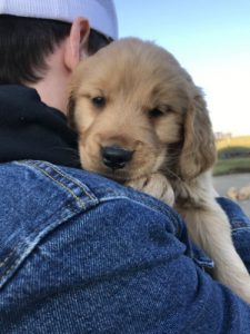 Golden retriever carried by owner