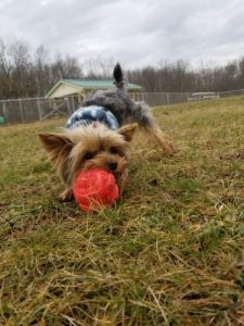 Yorkshire terrier playing outdoor