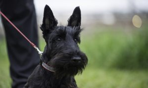 scottish terrier on a leash