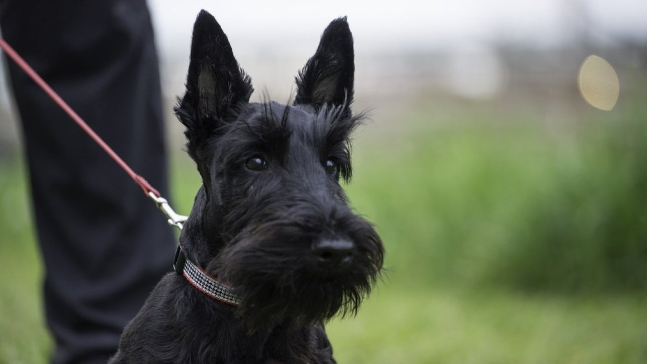 Keeping your Scottie Physically and Mentally Fit – Ready, Set, Puppy!