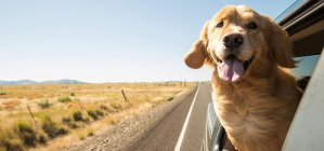 Golden Retriever Sticking his head out the window