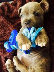 Staffordshire Bull Terrier brown puppy