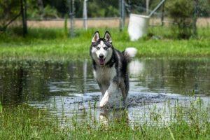 Siberian husky running water