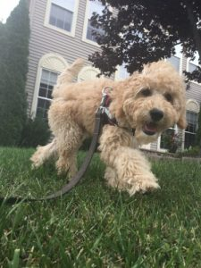 Miniature goldendoodles running on leash