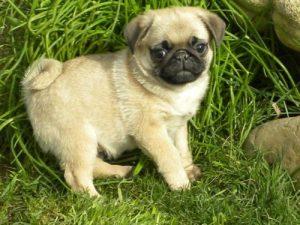 pug on grass