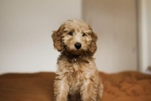 Goldendoodle indoor