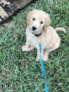 Goldendoodle on grass