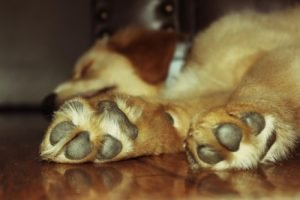 Golden retriever paws