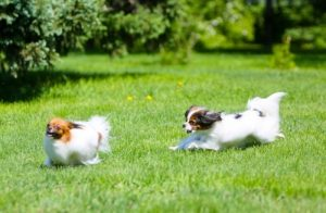 Papillon playing in grass