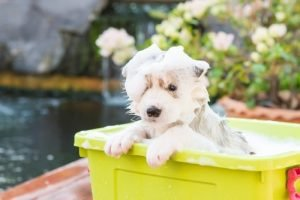 Siberian husky bathing