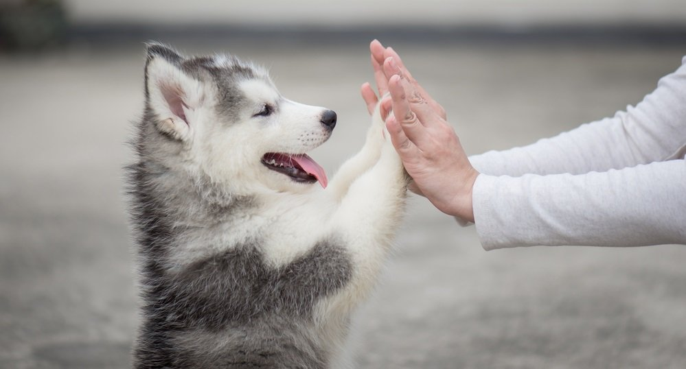 Basic Siberian Husky Ownership – The Least You Should Know before Bringing Home a Husky