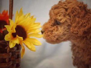Goldendoodle sunflower