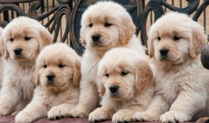 Group of 8 week old golden retriever puppies