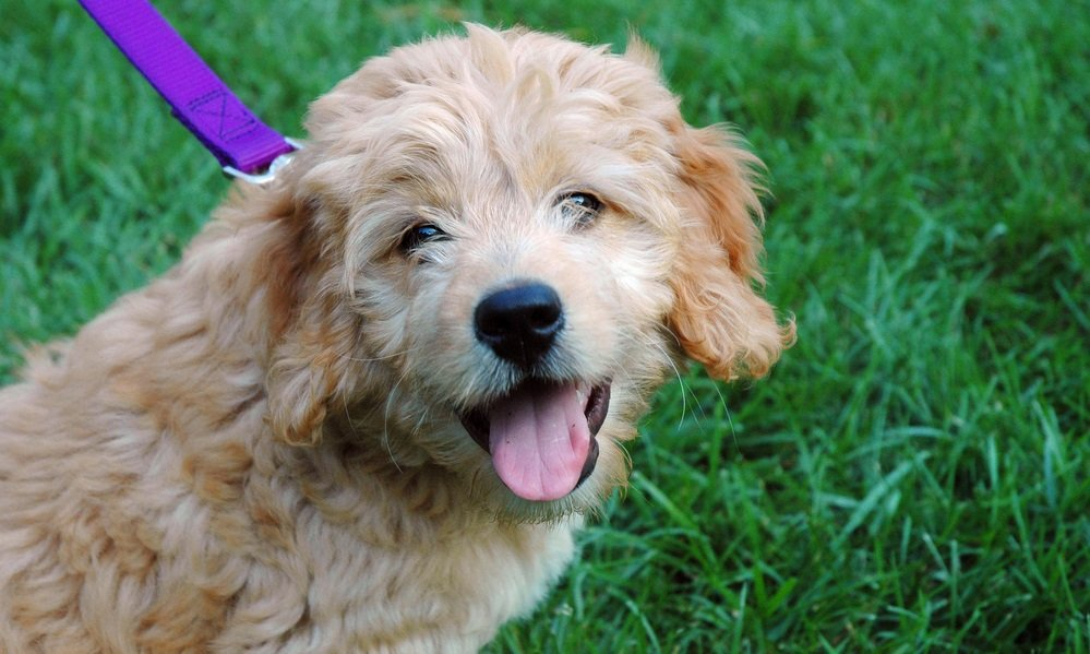 Finding and Selecting a Miniature Goldendoodle Puppy – Expert Tips