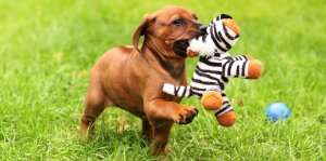 Rhodesian Ridgeback puppy with toy in grass