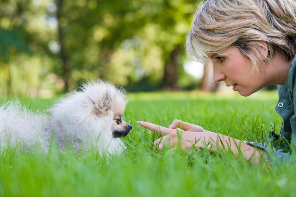 Six Easy-to-Teach Pomeranian Commands for a new Owner