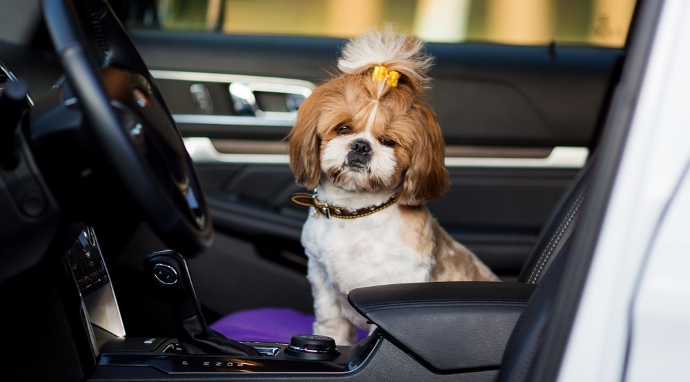 Traveling With a Shih Tzu:  Tips for Successful Trips with your Shih Tzu dog