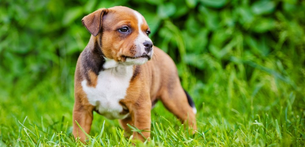 Staffordshire Bull Terrier Behavioral Issues and Training