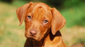 smiling ridgeback puppy