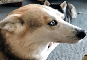 Faelan the Siberian husky in the house