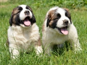 Picking a Saint Bernard Puppy