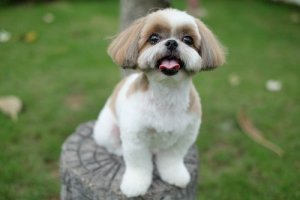 Picking out a Shih Tzu Puppy