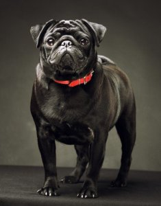 How much do Pugs shed