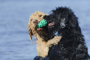 Two labradoodles playing