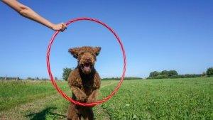 Labradoodle Jumping through hoop