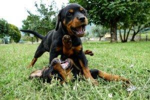 Socializing a Rottweiler puppy