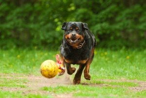 Exercising a Rottweiler