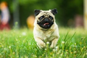 How much exercise do pugs need?