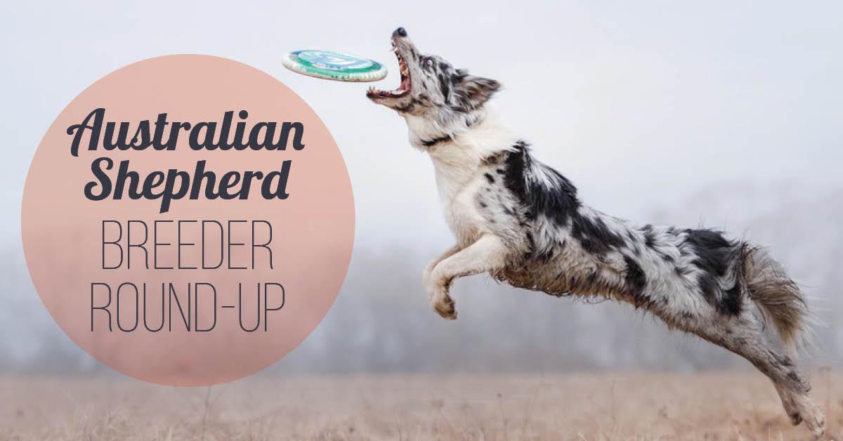 Australian Shepherd Breeder Roundup