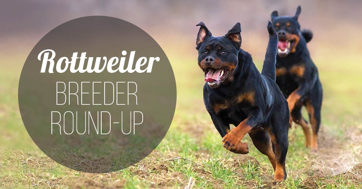 Rottweilers: 15 Answers to Questions that new Owners Ask