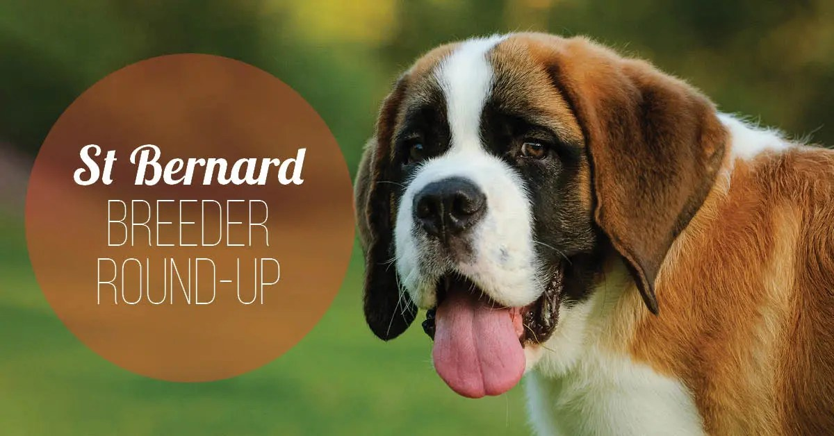 7 Saint Bernard Breeders give their Best Advice to new Owners