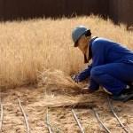 Food Grown in Sahara Desert with Sea Water