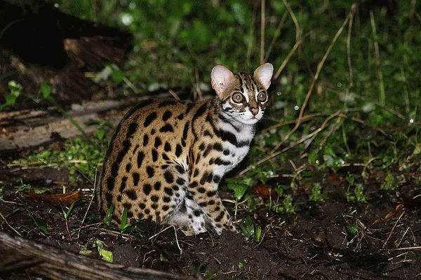 8-leopardovaya