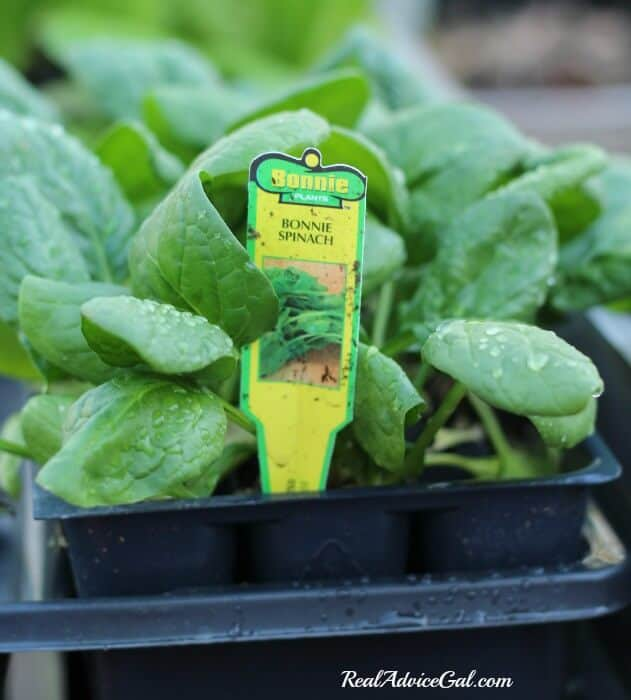 Spinach is perfect for a table garden