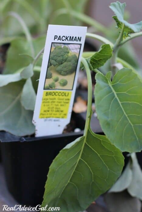 Broccoli woud be a great plant to try in a table garden