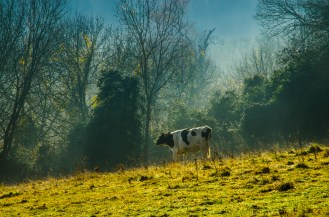 Cow in Bookham mist