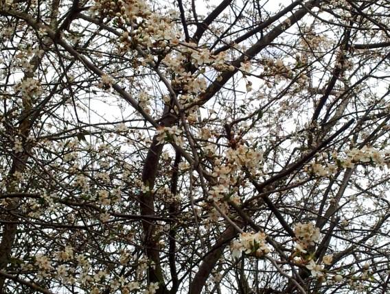 blütenbaum2