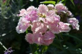 hibiskus-8
