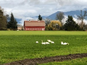 Trumpeter Swans in a field in Whatcom county
