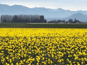 Daffodils in Bellingham Washington